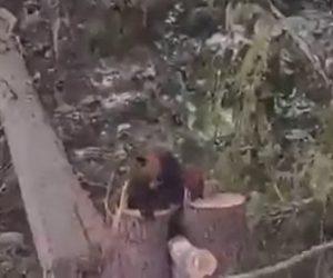【衝撃】大木を切り倒すとクマが出てくる衝撃映像