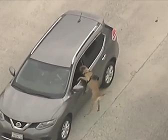 【衝撃】警察に囲まれた盗難車。警察犬が盗難車運転手に突っ込む衝撃映像