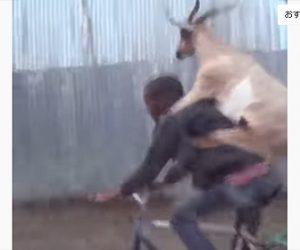 【衝撃】自転車でヤギを運ぶ男性が凄い