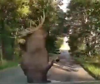 【事故】道の脇から巨大なヘラジカが車に突っ込んでくる衝撃映像