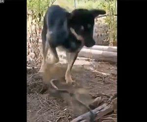 【衝撃】死んだヘビにビビりまくる犬が面白い