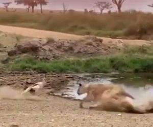 【動物】水辺で水を飲むトムソンガゼルに猛スピードのライオンが襲いかかるが…