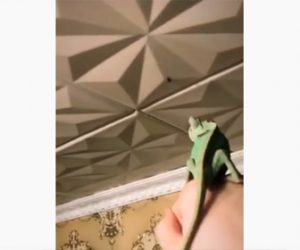 【動物】天井にいるハエにカメレオンを近づけ食べさせる衝撃映像