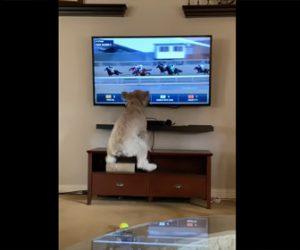 【動物】競馬中継に大喜びするワンちゃんが可愛い