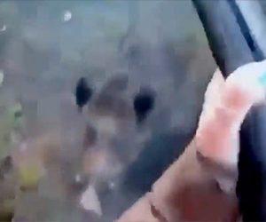 【動物】女性ハンターが突進してくる野生のイノシシをライフルで撃つが弾が当たらず…