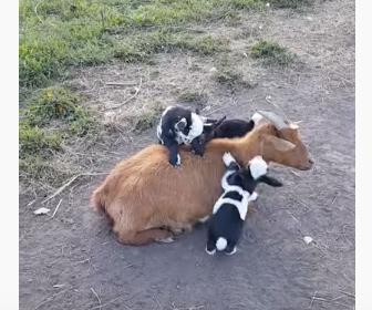 【動物】母ヤギの背中に必死に登ろうとする赤ちゃんヤギが可愛い