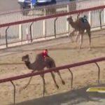 【動物】ラクダレースで1位を走るラクダがゴール直前で倒れ死亡してしまう衝撃映像