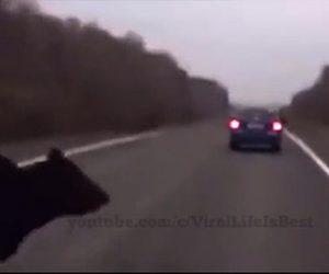 【動物】クマが突然道に飛び出し、車にはね飛ばされてしまう