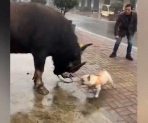 【動物】巨大な水牛に小さなフレンチブルドッグが向かって行く