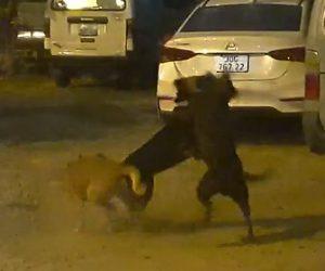 【動物】交尾する2匹の犬にもう1匹の犬が飛びかかり…