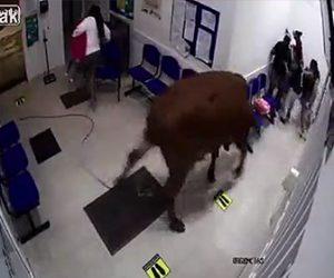 【動物】病院の待合室に巨大な牛が侵入し患者に襲いかかる衝撃映像