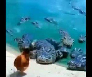 【動物】大量のワニがニワトリを狙っている衝撃映像