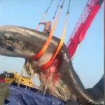 【衝撃】全長18m、56トンのクジラの死骸を運ぶ映像が凄い