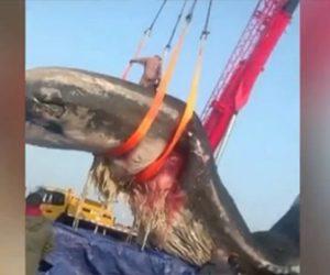 【衝撃】長さ18m、56トンのクジラの死骸を運ぶ映像が凄い