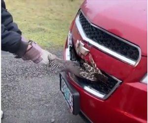 【衝撃】車のフロントグリルに突っ込んでしまった七面鳥を引っ張り出すと…