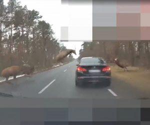 【動物】道を走る車にシカの群れが突っ込んでくる衝撃映像