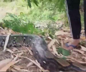 【動物】タイで重さ100キロの巨大なヘビを捕獲する衝撃映像