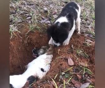 【動画】子犬が死んでしまった友人を揺すって起こそうとする映像