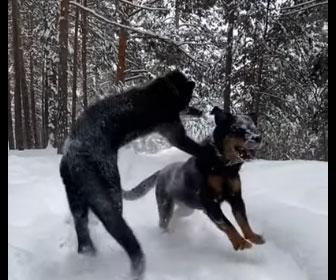 【動物】雪山で犬(ロットワイラー)にクロヒョウが飛びかかる衝撃映像