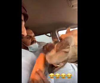 【面白】車の窓からパンを取ろうとするラクダにビビりまくる男性