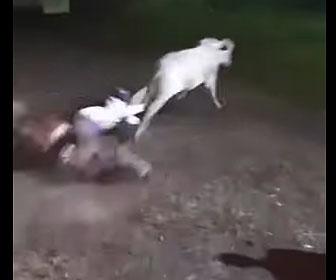 【動物】馬に乗るカウボーイが猛スピードで走る牛を捕まえようとするが転倒してしまう
