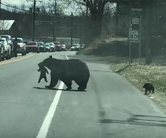 【動物】母熊と子熊が車道を渡る映像。言うことを聞かない子熊を母熊が必死にくわえて道を渡る