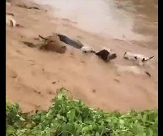 【災害】大雨で洪水が起こり牛たちが濁流に流されていく衝撃映像