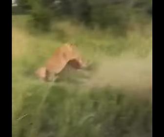 【動物】環境客の目の前でライオンが草食動物に飛びかかる衝撃映像