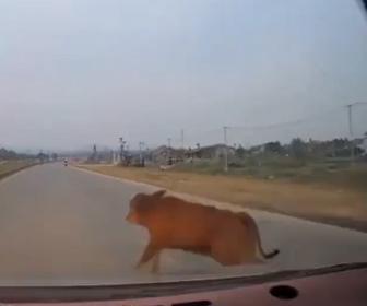 【事故】前を走るミキサー車を追い越そうとするが、牛が道に飛び出し…