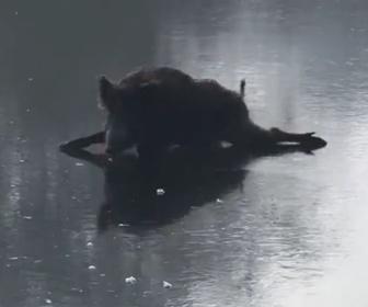 【動物】凍った湖で足が滑り動けないイノシシ