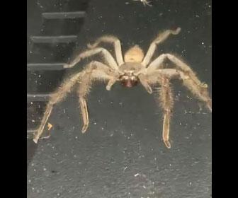 【衝撃】車の中で巨大なクモが大量の赤ちゃんを産み、車内がクモだらけ