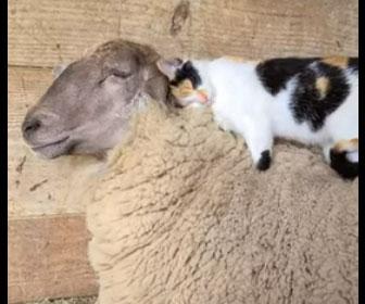 【動物】ヒツジの上で気持ちよく寝るネコ。ヒツジをマッサージしてあげる