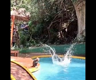 【動物】サルたちがプールに飛び込み遊ぶ