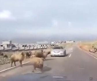 【動物】車道を走る車にヒツジが突っ込んでくる