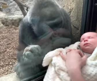 【動物】ゴリラが人間の赤ちゃんをあやす衝撃映像