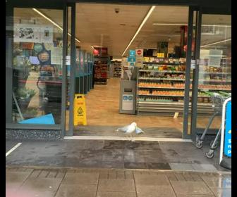 【動物】カモメが自動ドアから店に入りサンドイッチを盗む