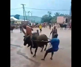【動物】巨大な角を持ち暴れ牛を乗りこなす男性が凄い