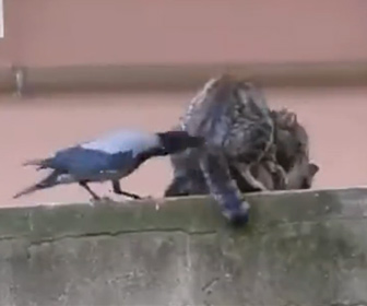 【動物】カラスがネコをつつきまくり交尾の邪魔をする