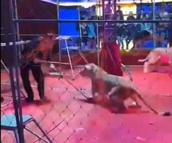 【動物】サーカス公演中、ライオンが繰り返しスタッフに襲いかかる衝撃映像