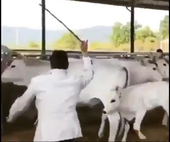 【動物】牛の尻を叩く男が子牛に蹴り飛ばされる衝撃映像