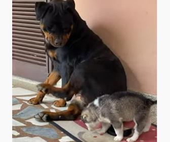 【動物】ロットワイラーがなついてきた子犬を蹴り飛ばしてしまう