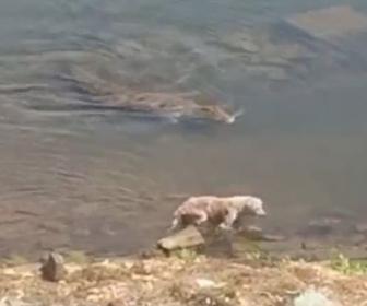 【ショッキング映像】水辺を歩く犬に巨大なワニが忍び寄り…