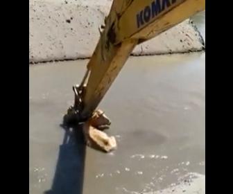【動物】泥水にはまった牛をショベルカーで救出する