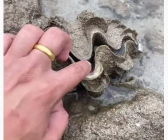 【動画】男性が恐る恐るシャコ貝に指を突っ込むと…