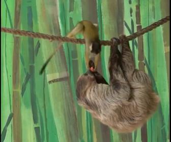 【動物】ナマケモノがリスザルに餌を取られてしまう