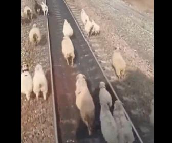 【動物】迫る電車から必死に逃げるヒツジの群れ