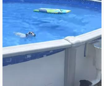 【衝撃】プールを泳ぐジャック・ラッセル・テリア。プルから上がる方法が凄い