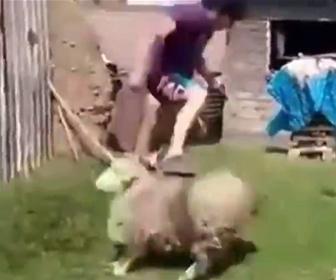 【動物】突進してくるヒツジを巧みに避ける男性が凄い