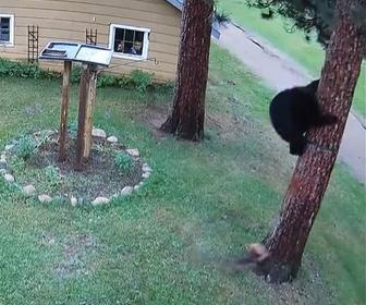 【動物】ヨークシャーテリアが熊を追い回す衝撃映像