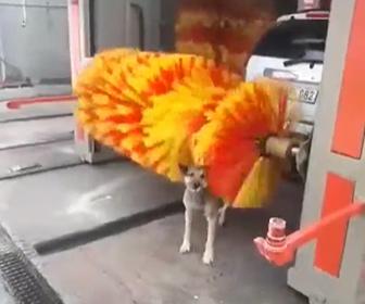 【動物】野良犬が洗車機で体を洗う